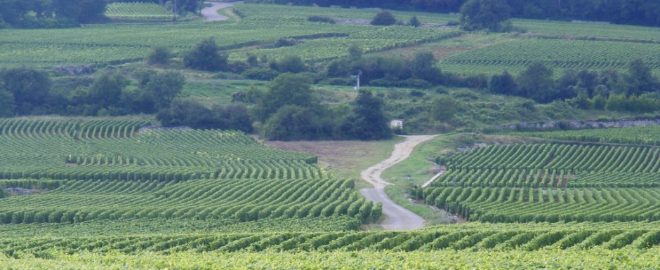 The vineyards near our luxury vacation rental for six or 10 in Puligny Montrachet, near Beaune, Burgundy