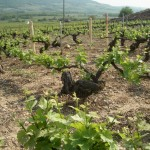 Bachey legros - The vineyards near our luxury vacation rental for six or 10 in Puligny Montrachet, near Beaune, Burgundy