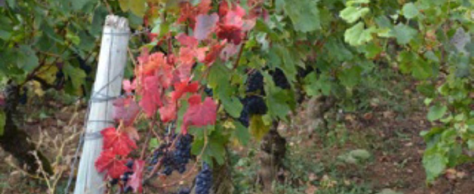 The grapes at our luxury holiday rental for 6 or 10, in Puligny-Montrachet, Burgundy