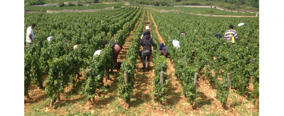 The vendanges near our luxury holiday home in Puligny Montrachet, near Beaune, Burgundy