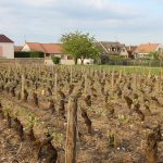 The vines at our luxury vacation rental in Puligny Montrachet near Beaune, Burgundy